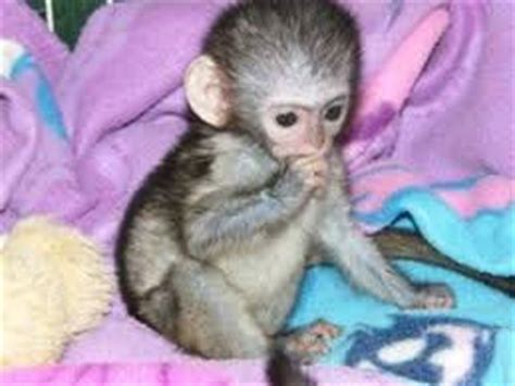 Where can i buy a small monkey/adopt a finger monkey in UK?