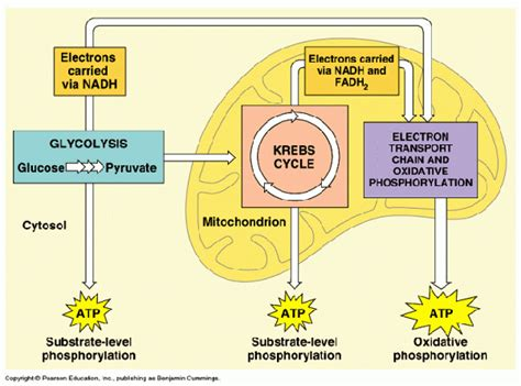 Where is the location of glycolysis in cellular ...