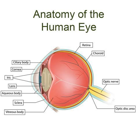 Which Parts of the Eyes Are Associated with Which Eye ...