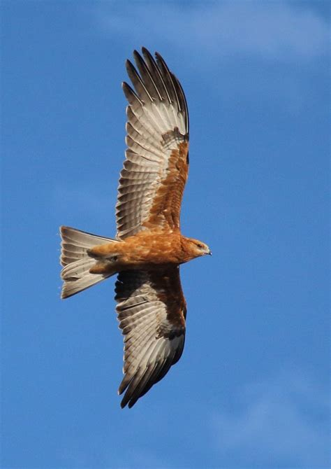 Which Raptor ? | BIRDS in BACKYARDS