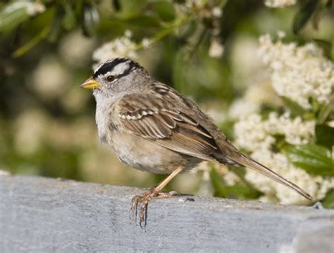 white crowned sparrow   White crowned Sparrow ...