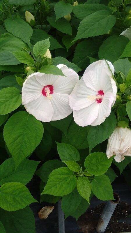 White Hardy Hibiscus 3 Gal. Large Plant Huge Flowers Easy ...