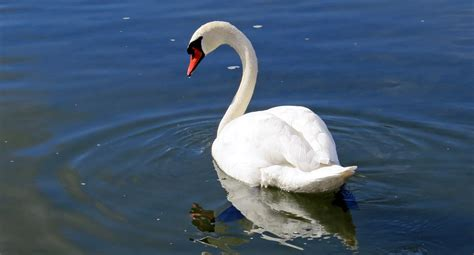 White Swan in the Body of Water · Free Stock Photo