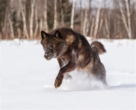 White Wolf : 42 Amazing Truths About Wolves Everyone ...