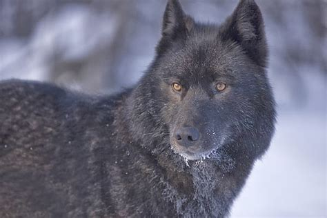 White Wolf : The Rise of Black Wolf  Video