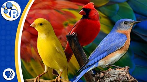 Why Are Birds Different Colors?   YouTube