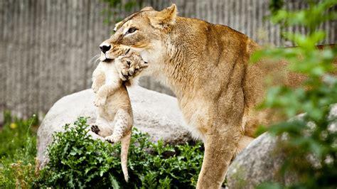 Why Do European Zoos Kill Healthy Animals? : 13.7: Cosmos ...