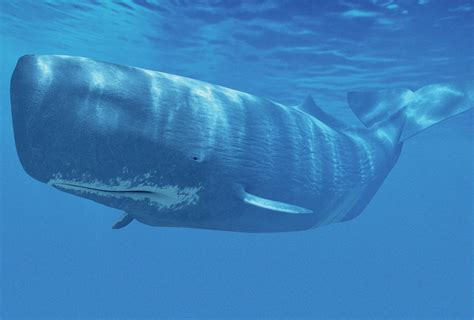 Why the sperm whale has a huge head   Cosmos