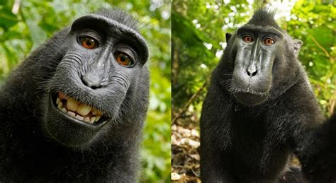 Wikipedia Refuse To Remove Photo Because A Monkey Owns The ...