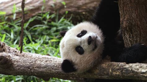 Wild Inside the National Zoo: Bao Bao s First Year   YouTube