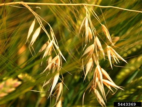 wild oat, Avena fatua  Cyperales: Poaceae    5443369