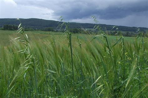 Wild Oat   Department of Agriculture and Aquaculture