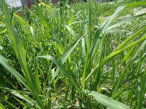 Wild Oat Grass Identification   SEONegativo.com