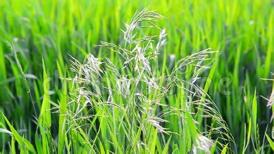 Wild Oat Grass In Field In July On A Sunny Day Stock ...