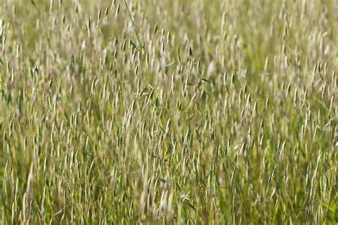 Wild oat grass ⋆ The Real Pollen Count