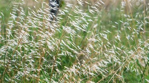Wild Oat Weed Killer   Lawn Dork