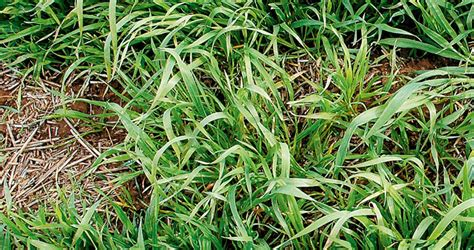 Wild oats and winter crops   GRDC