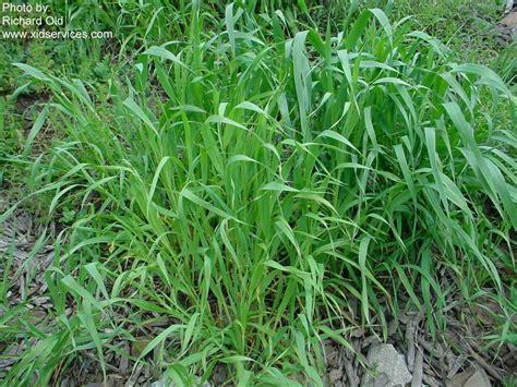 Wild oats, Avena fatua   PACE Turf Photo Gallery