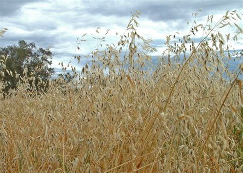 Wild oats   Department of Agriculture and Food