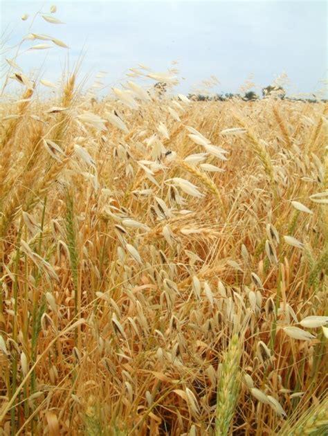 Wild oats   GRDC