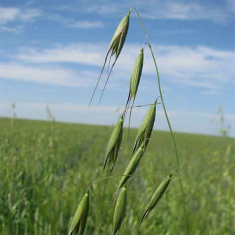 Wild oats in Pulses   Syngenta Canada