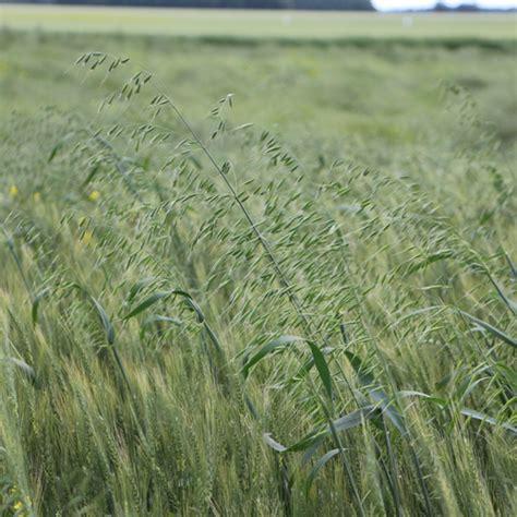 Wild oats in Wheat   Syngenta Canada