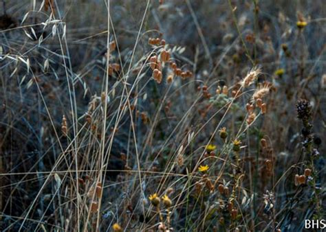 Wild Oats, Rattlesnake Grass and Dog Tail Grass  2012 08 ...