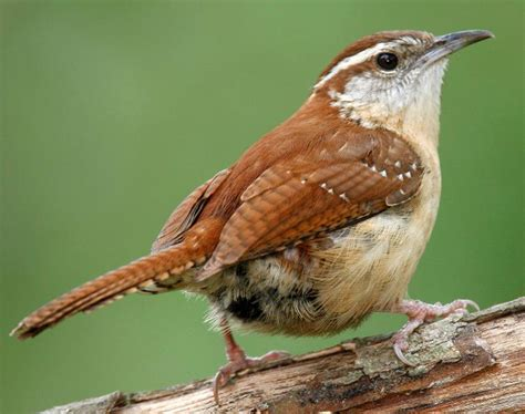 Wild South » Carolina Wren