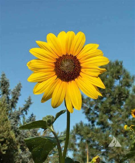 Wild Sunflower  Helianthus annuus    Applewood Seed Company