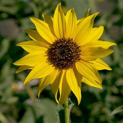Wild Sunflower Seeds | Wild sunflower, Wildflower seeds ...