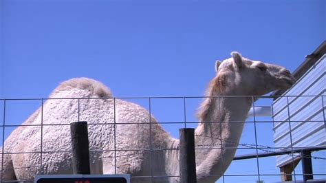 Woman bites camel that sat on her at truck stop petting ...