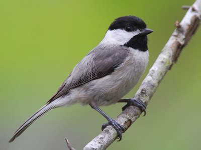 World Beautiful Birds : Carolina Chickadee | Birds Facts ...