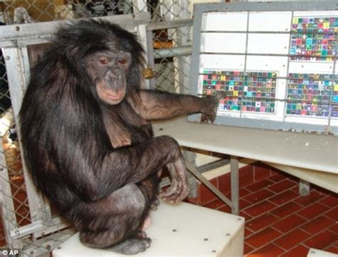 World famous bonobo that could  speak English  dies of a ...