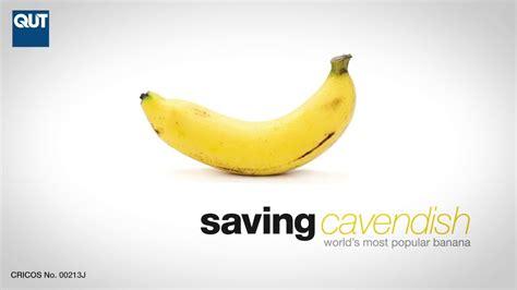 World first Panama disease resistant Cavendish bananas ...