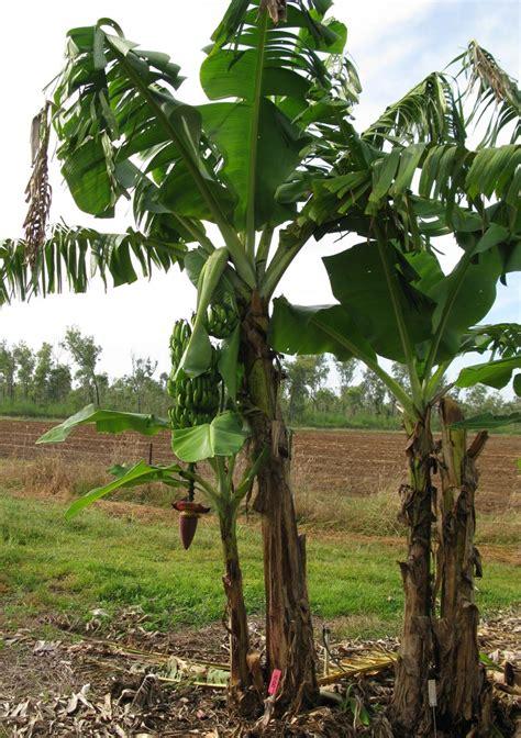 World first Panama disease resistant Cavendish bananas   WUR
