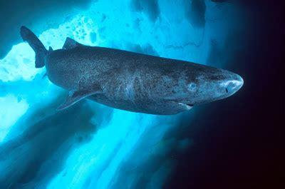 wowboom: ฉลามกรีนแลนด์ ตำนาน อสูรกินหมี  Greenland Shark