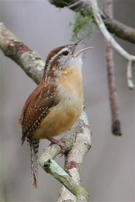 Wren, Songs and Birds on Pinterest