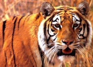 WWF finaliza el Año del Tigre con la hoja de ruta para ...