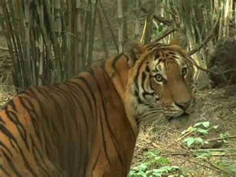 WWF lanza un SOS en el Año del Tigre para salvar al gran ...