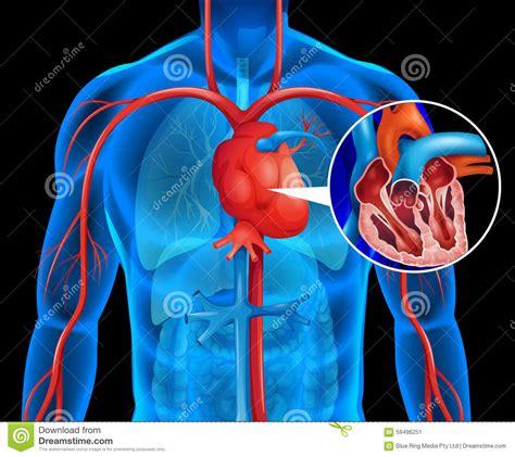 Xrays of human heart stock vector. Illustration of anatomy ...