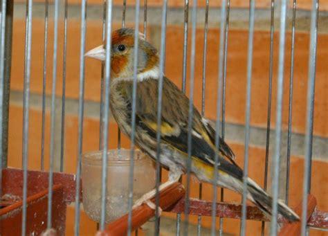 XVII Concurso de Canto de Pájaros Silvestres en Cervera ...