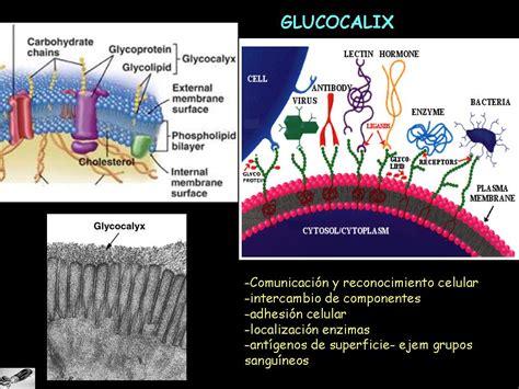 ...y la vida evolucionó: Glucocalix, uniones ...