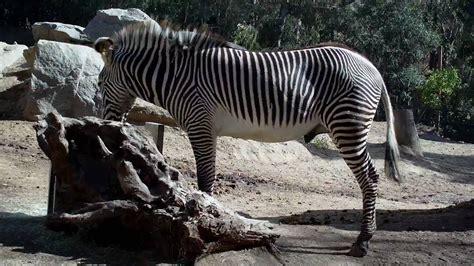 Zebra at the San Diego Zoo on January 10, 2010   YouTube