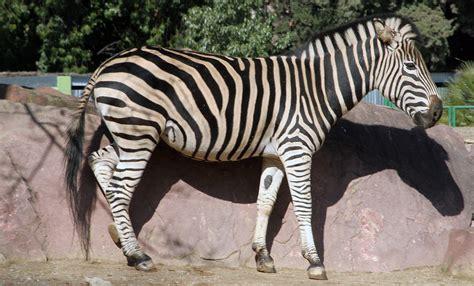 Zebra de Chapman   Zoo Barcelona