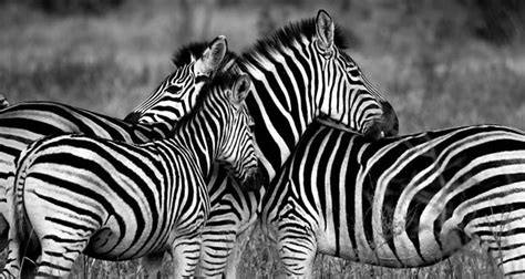 Zebra Facts   19 Interesting Facts About Zebras ...