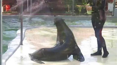 Zoo da Maia com o Leão Marinho Nico   YouTube