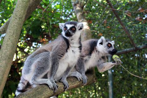 Zoo da Maia recebe um casal de lémures de cauda anelada ...
