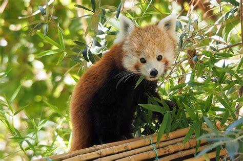 Zoo de Lisboa recebe duas crias de panda vermelho