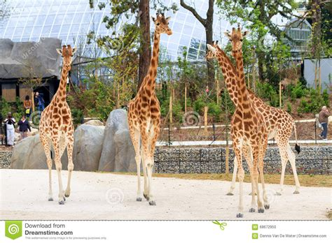 Zoo de Paris de girafes image éditorial. Image du africain ...