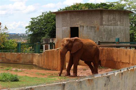 Zoo quer usar sêmen de Babu para inseminação artificial ...